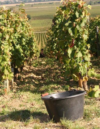 vines-2408669_1920